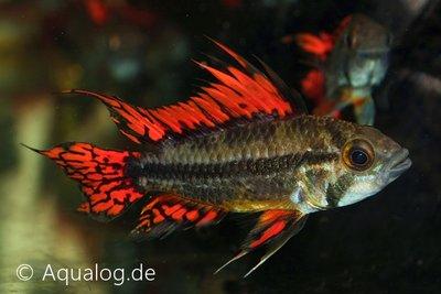 APISTOGRAMMA CACATUOIDES TRIPLE RED