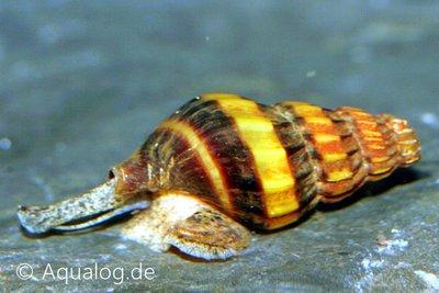 ANENTOME HELENA - Slaketende slak