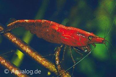 NEOCARIDINA DENTATUS SINENSIS RED- red cherry garnaal