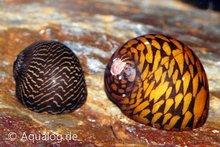 nerita species