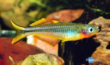 Pseudomugil (popondichthys, popondetta) furcata